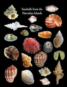 sea shells from the Hawaiian islands ~ difficult to find whole shells. Seashell Crafts, Beach Crafts, Shell Collection, Shell Beach, Shell Art, Hawaiian Islands, Marine Life, Sea Creatures, Under The Sea