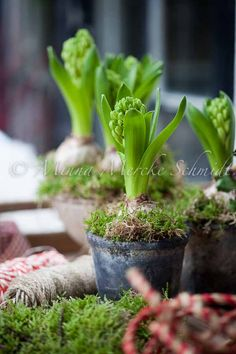 Hyacinths dressed for Christmas by Blomsterverkstad.