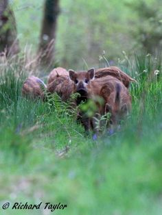 Wild Boarlets messing about, snuffling in the grass and eyeing the photographer!
