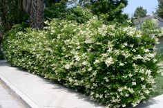 """One of the most common requests from both our retail and landscape customers is for """"the perfect screening shrub"""" - what this means to different people varies, but generally the desirable character..."""