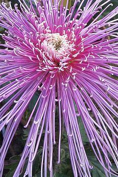 Designs For Garden Flower Beds Japanese Chrysanthemum Unusual Flowers, Amazing Flowers, My Flower, Colorful Flowers, Purple Flowers, Beautiful Flowers, Cactus Flower, Beautiful Gorgeous, Yellow Roses