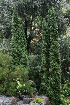 Thuja occidentalis 'Degroot's Spire' compact columnar arborvitae is very popular because of its narrow, columnar form with dense green foliage that sometimes twists and layers over itself. tall x wide (zones - these are at the corners of the house Evergreen Garden, Evergreen Shrubs, Trees And Shrubs, Trees To Plant, Garden Shrubs, Garden Trees, Amazing Gardens, Beautiful Gardens, Arborvitae Tree