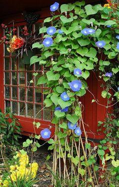 Gorgeous Blue {Morning Glory!}