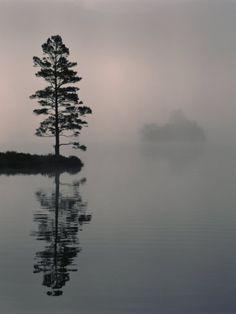 Lone Scots Pine, in Mist on Edge of Lake, Strathspey, Highland, Scotland, UK Premium Poster