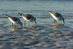 A congregation of plovers