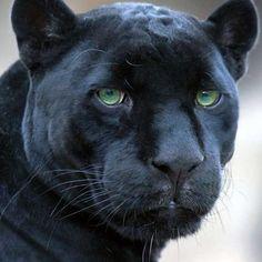 Jaguar xf hd wallpapers free download hd wallpapers hd black panther animal hd desktop wallpaper panther wallpaper animals no voltagebd Images