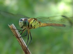 dragonflies of the rain forest | The diet of the rainforest dragonfly is mainly carnivorous, as they ...