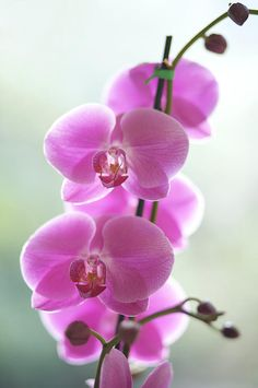 Pink Orchids, Hawaii