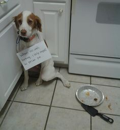 """When no ones's looking…I help myself to pecan pie. (Scout…sigh)"" ~ Dog Shaming shame - Britney Spaniel?"