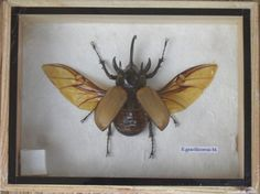 Real 5 Horned Gracilicornis Beetle Insect by THAICRAFT4YOUDOTCOM, $13.99
