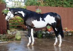 This stallion could be a frame overo, totally white right front leg isn't very typical, though.