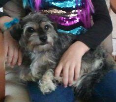 Lost Dog - Yorkshire Terrier Yorkie - Houston, TX, United States 77044