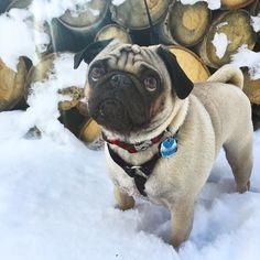 This little nugget is Leo. Please follow @leo_the_pug ! #pugsofinstagram #blackbutteranch by pugsofinstagram