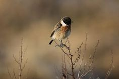 A male stonechat sits on the banks of the river Thames in London, England