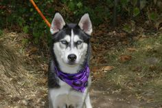 SAFE --- Staten Island Center  BALTO - A1012056  NEUTERED MALE, BLACK / WHITE, SIBERIAN HUSKY MIX, 1 yr STRAY - ONHOLDHERE, HOLD FOR ID Reason STRAY  Intake condition EXAM REQ Intake Date 08/27/2014, From NY 11235, DueOut Date 09/04/2014,  https://www.facebook.com/Urgentdeathrowdogs/photos/pb.152876678058553.-2207520000.1409612069./862983160381231/?type=3&theater