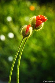 * Macro Flower, Flower Art, Exotic Flowers, Beautiful Flowers, Minka, Red Poppies, Flower Photos, Dresden, Flower Tattoos