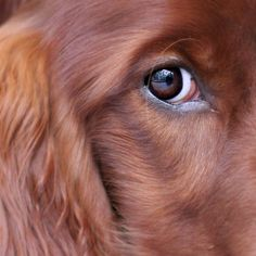 DOG - Irish Setter...i repeat...a DOG is beautiful... :))) what are U stearing for here????? Yes YOU ?