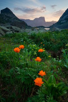Trollius in the Altai Mountains, Russia. 金蓮花屬