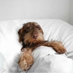 """""""Room for you? Dachshund Funny, Dachshund Puppies, Dachshund Love, Daschund, Sausage Dog Puppy, Animals And Pets, Cute Animals, Scruffy Dogs, Baby Dogs"""