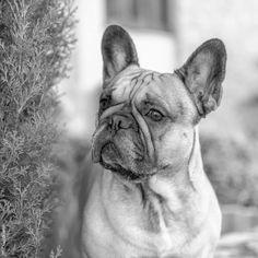 French Bulldog #buldog