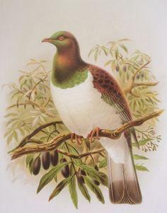 Check out the deal on Kereru, the New Zealand wood pigeon by John Keulemans at New Zealand Fine Prints Pigeon Breeds, Wood Pigeon, Thing 1, Kiwiana, Bird Illustration, Wildlife Art, Bird Prints, Natural History, Beautiful Birds