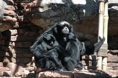 Wildlife Wednesdays: Siamang with Twins is Father of the Year at Disney's Animal Kingdom at Walt Disney World Resort