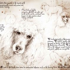 """Poodle Study"" A full size Da Vinci style drawing"