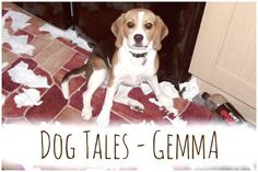 All about our lovely little beagle Gemma or as she's more affectionately known - Gemma-pants! Moving In Together, Two Dogs, Beagle, This Is Us, Cute Animals, Pants, Pretty Animals, Trouser Pants, Beagle Hound