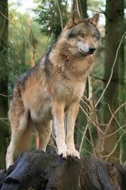 Image result for tawny female wolf
