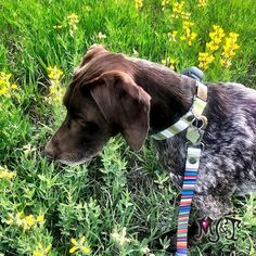 💕 Sundance is exactly where he's supposed to be🌿🌼🌺 Surrounded by Nature 👉 Swipe to see our Peridot Stripes in different collar styles 👅 #pointersofinstagram #germanshorthairedpointer #sundance #doglovers #naturelovers Unique Dog Collars, German Shorthaired Pointer, Collar Styles, Peridot, Dog Lovers, Stripes, Dogs, Nature, Animals