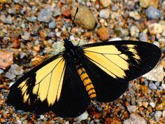 Yellow Actinote [Altinote alcione] From: Napo, Ecuador
