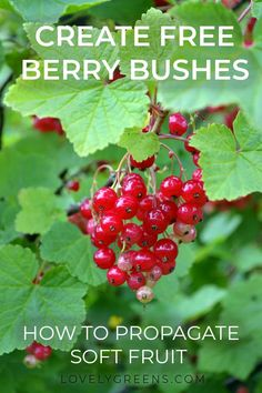 Learn how to grow new plants from existing Blackberry Gooseberry Redcurrant Raspberry and other fruit bushes gardeningtips berries growberries plantsforfree propagate howtogrowcurrants howtogrowblackcurrants howtogrowraspberries Fruit Bushes, Fruit Trees, Fruit Plants, Raspberry Bush, Blackberry, Permaculture, Organic Gardening, Gardening Tips, Kitchen Gardening
