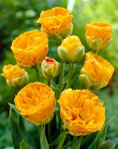 """Tulip Double Beauty of Apeldoorn - 20"""" h (Plant 5"""" apart); Blooms Late Spring, 8 for $6.95, www.bluestoneperennials.com"""