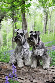 New | A community of Schnauzer lovers!