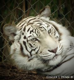 White Bengal Tigress - Nashville Zoo - photo by Ginger L Dunn