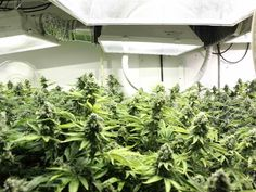 Marijuana Growing Occupational Hazards: Avoid Getting Hurt Growing Marijuana - GEAR International #gearotc www.gear.international $GEAR #cannaworxinc #cannaworx