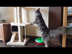 YouTube Maine Coon, Cats, Youtube, Gatos, Cat, Kitty, Youtubers, Youtube Movies, Kitty Cats