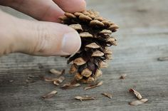 Bonsai how to - starting a bonsai from seed - More pine cone technique