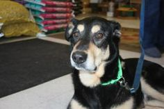 Baron is an adoptable Shepherd Dog in Rochester, MN. Baron was rescued from Rochester Animal Control and is a very sweet boy. All adoptable pets have been spayed/neutered, vaccinated, and microchipped...