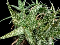 Aloe rauhii – Snowflake Aloe- See more at: http://worldofsucculents.com/aloe-rauhii-snowflake-aloe