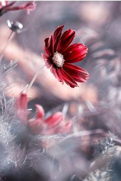 Beautiful Flowers Pictures, Wonderful Flowers, Pretty Flowers, Photos Of Flowers, Trees Beautiful, Daisy Flowers, Flower Images, Flower Pictures, Flower Wallpaper