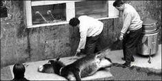 """Petition · China: Donkey meat is quite common in China, as easy to find as pork or beef meat . """" Huo Jia Lu """" means """" Living Donkey """" . That's it. The animal has tied the legs and the body pressed while the chefs cut their raw body , serving immediately for diners . The animal still cries when they begin to eat. - Huo Jia Lu, uma das especiarias mais cruéis que existe · Change.org - 2.096//10-25-2015 #Petition #AnimalRights #StopSlaughter #China #StopMeatTrade"""