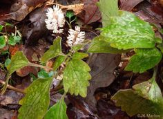 Allegheny Spurge, Mountain Pachysandrain the month of March