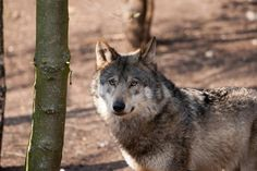 Walker Calls For Resuming Wolf Hunting In Wisconsin | Wisconsin Public Radio