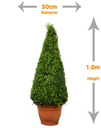 Buxus Small Cone - Small Buxus Sempervirens Cone unique shape ideal for adding a wow factor to your landscape