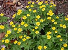Anemone ranunculoides, yellow wood anemone or buttercup anemone, is a woodland flower with rich yellow coloring. Moist Shade: Bulbs do well in moist shade. Partial Shade Perennials, Wood Anemone, Alpine House, Bulbous Plants, Architectural Plants, Woodland Flowers, Landscaping Plants, Planters, Buttercup