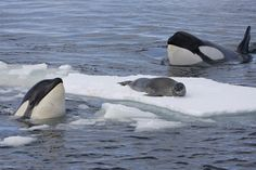 Killer Whale Eating | And here are some pictures of orcas in action which say it all: