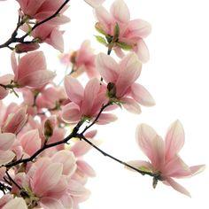 magnolias rosas