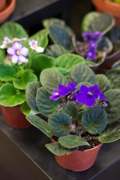 African violet plants have a few quirks, but learning about them and the proper care of African violets can make growing the plants less intimidating. This article has more information.