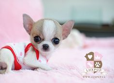 This 2 types of Chihuahua are very popular today. If you want to know the difference about apple head chihuahua and deer head chihuahua, read the short guide about them. Teacup Puppies, Cute Puppies, Cute Dogs, Dogs And Puppies, Doggies, Teacup Pomeranian, Cute Baby Animals, Animals And Pets, Funny Animals